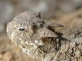 desert horned lizard