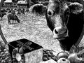 """""""The world's finest farmhouse cheddar comes from a most distinguished supplier."""" - Shelburne's Brown Swiss Cows"""